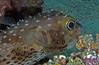 Porcupinefish (Diadon hystrix).