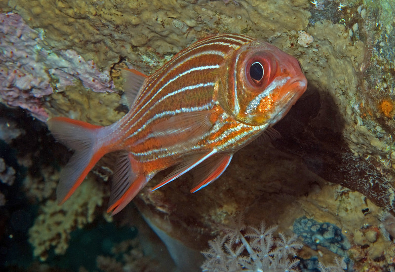 Crown squirrelfish (Sargocentron diadema).