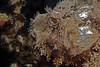 Bearded scorpionfish (Scorpaenopsis barbata).