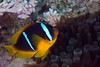 Red Sea anemonefish (Amphiprion bicinctus).