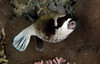 Masked pufferfish (Arothran diadematus).
