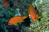 Jewel fairy basslets (Pseudoanthias squamipinnis) (females).