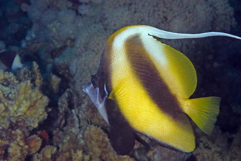 Red Sea bannerfish (Hemiochus intermedius).