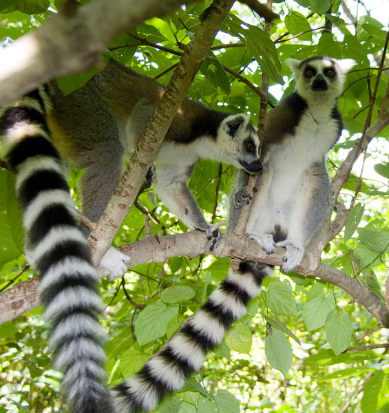 There were multiple lemurs in trees. I took a zillion shots, it was hard deciding which to show.