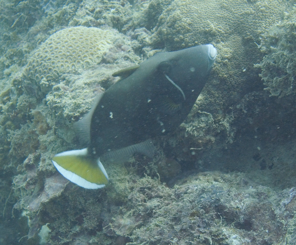 Halfmoon triggerfish.
