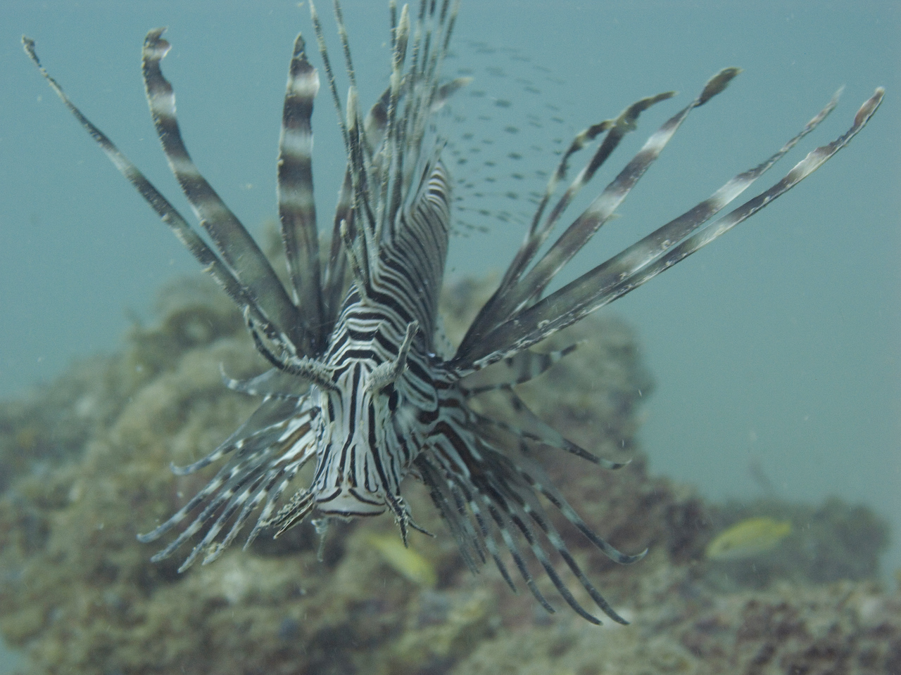 Another lionfish.