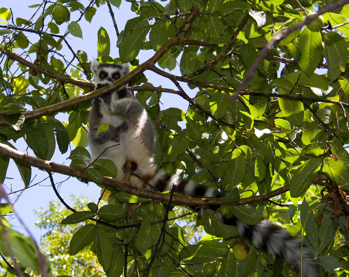 Another ringtail lemur.  Yes, very long tails.