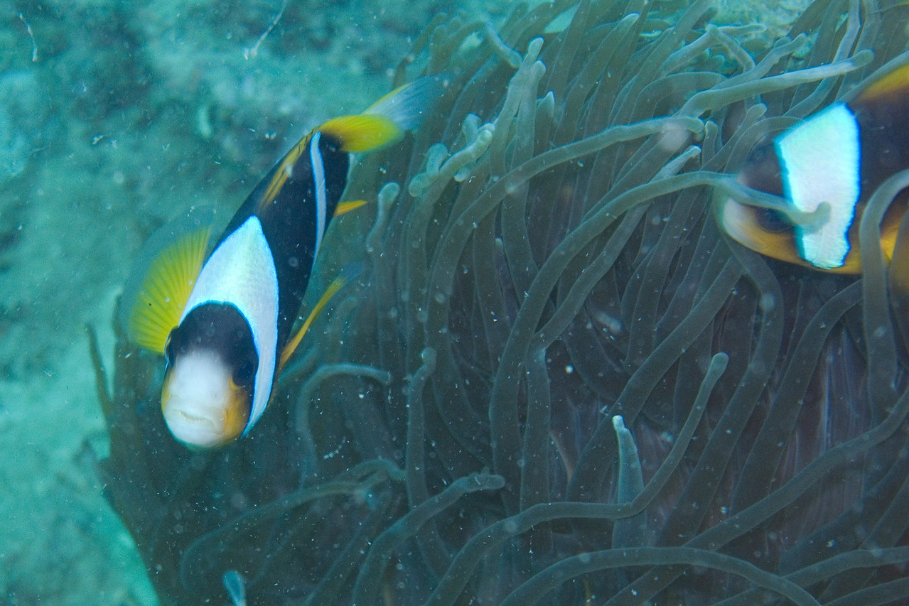 Madagascar anemonefish