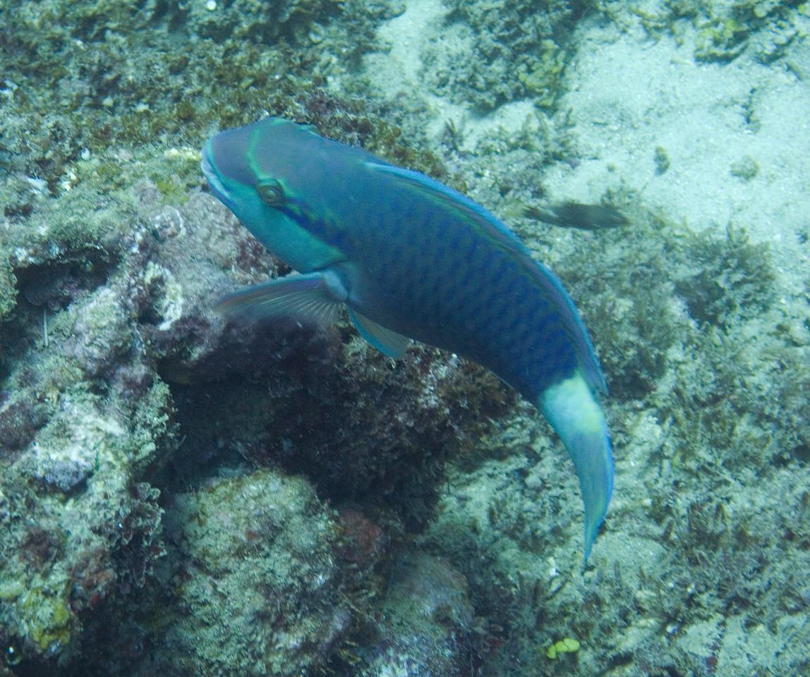 Bullethead parrotfish.
