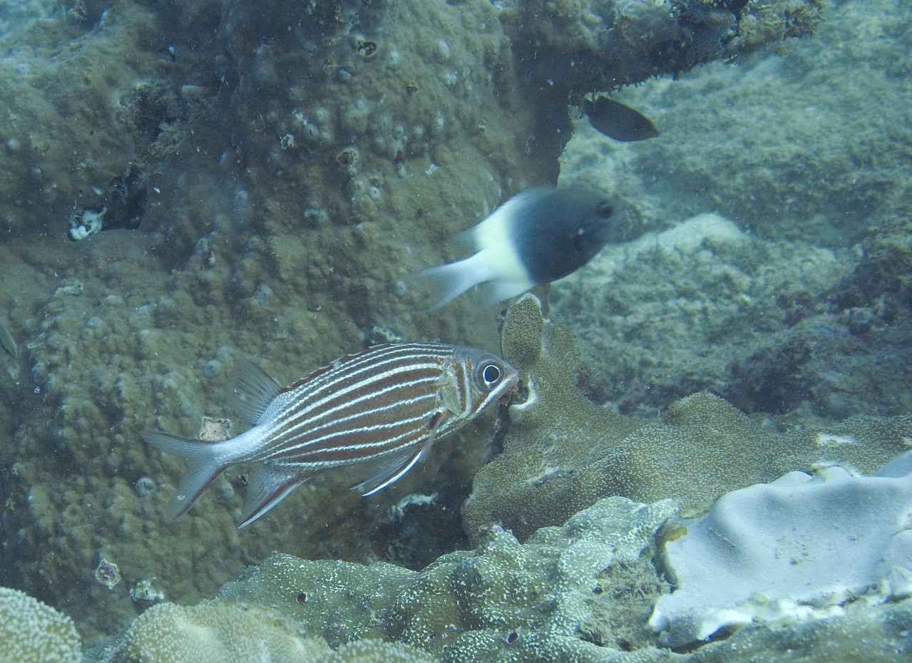 Crown squirrelfish next to choc-dip chromis.