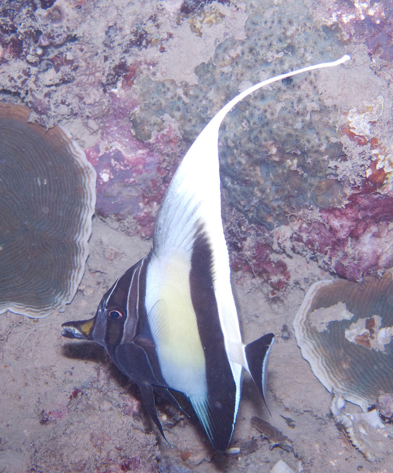 Funky looking Moorish Idol.  I pretended this was a new species and named it a Madagascar idol, latin name Zanclus lucius.  But my fish geek sources told me it's just a weird looking Moorish idol.  It happens.