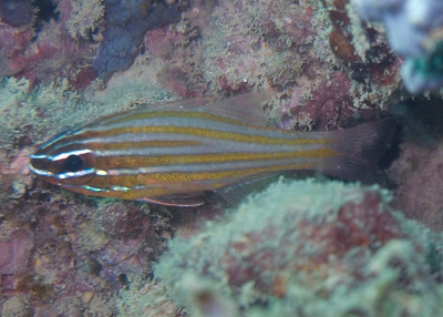 Not sure what kind of cardinalfish, looks like Wassinki, but Madagascar is outside of the range for that fish.