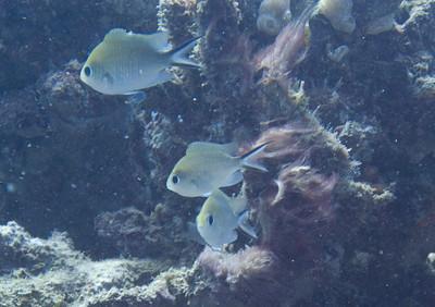 Ternate chromis