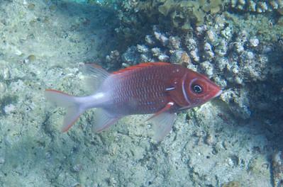 Tailspot squirrelfish