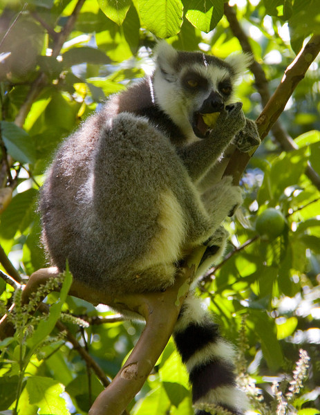 First of many lemur photos.  They were eating the fruit found in the trees.