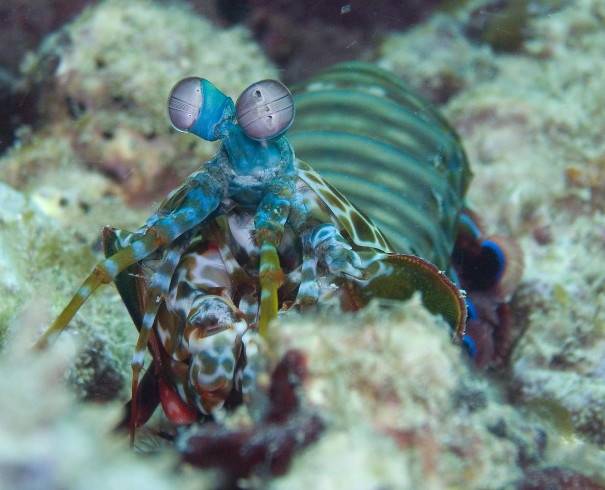 Mantis shrimp.  Love the eyes!