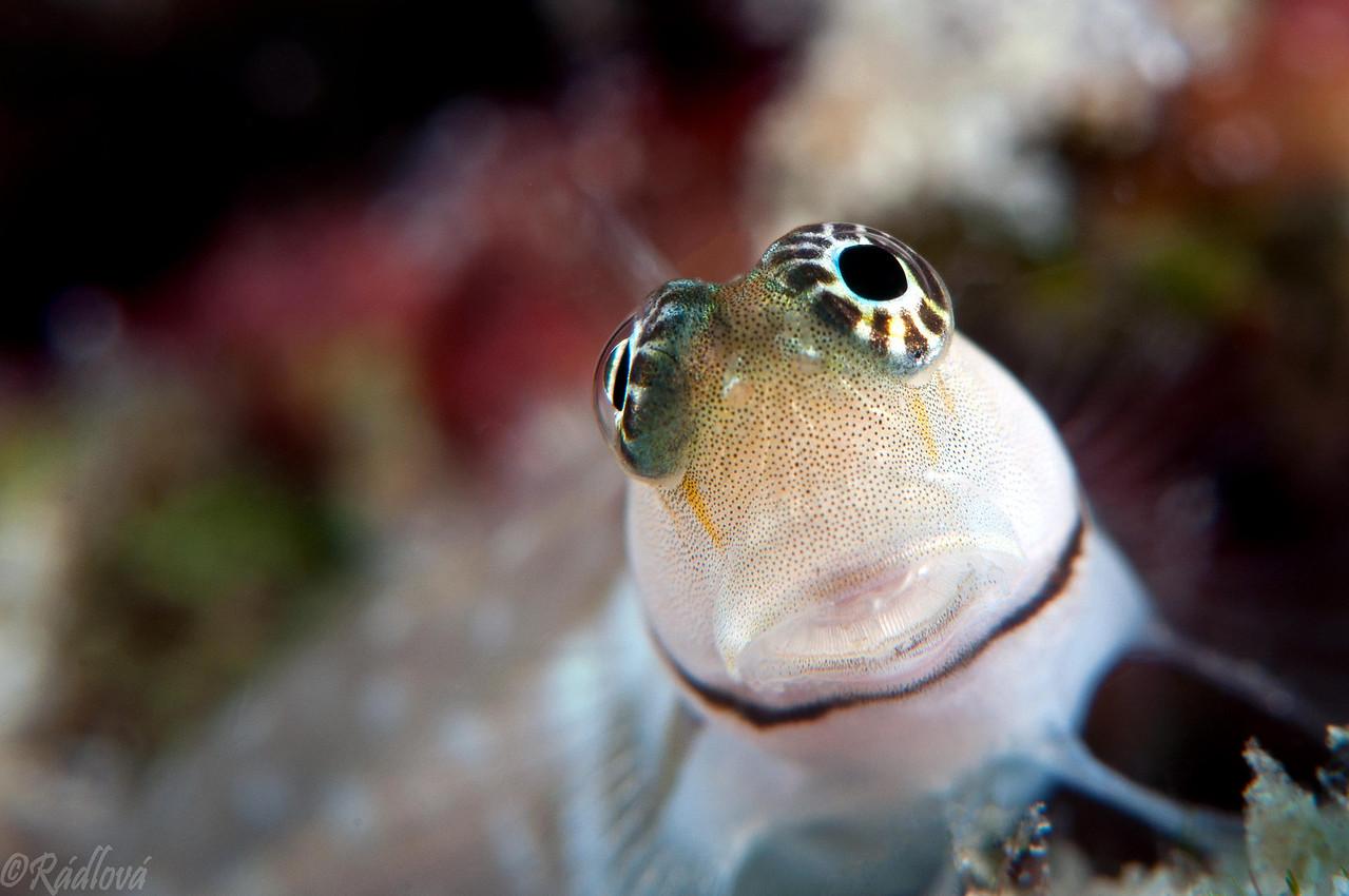Maldives Blenny <i>(Escenius minutus)<i/>