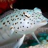 Speckled Sandperch <i>(Parapercis hexophthalma)<i/>