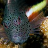 Freckled Hawkfish <i>(Paracirrhites forsteri)<i/>