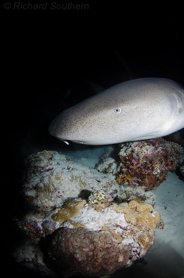 Maldives Nurse shark night dive