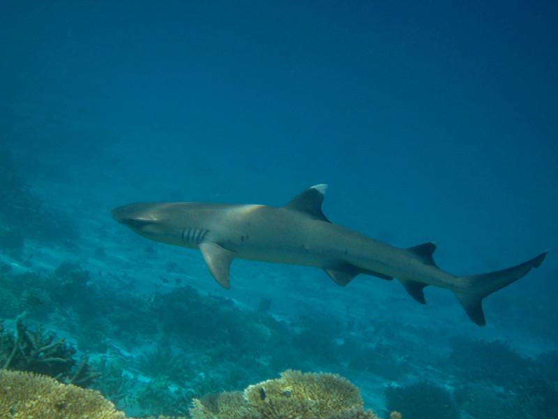 White Tip Reef Shark - Maldives