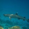 White Tip Reef Shark - Maldives