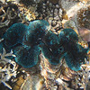 Giant Clam - Maldives
