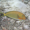 Striped Surgeonfish - Maldives