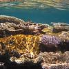 Maldivian Coral