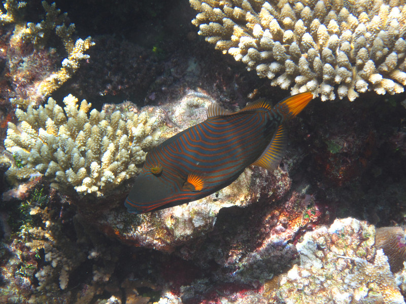 Orange Banded Trigger Fish - Maldives