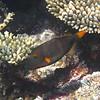 Orange Banded Trigger Fish - Maldives