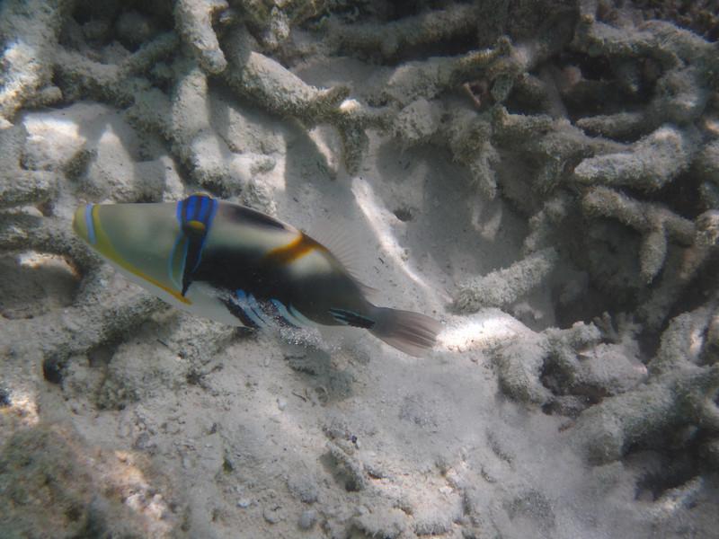 Picasso Trigger Fish - Maldives