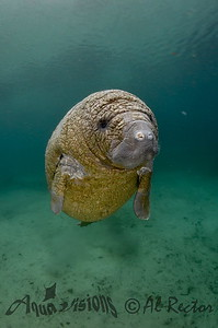 This is a baby manatee.