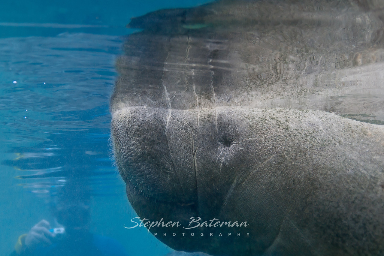 Manatees, Crystal Springs Florida 12_14_2012