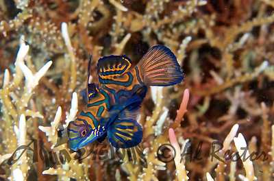 Solo Female Mandarin Fish