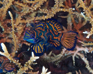 Solo Male Mandarin Fish