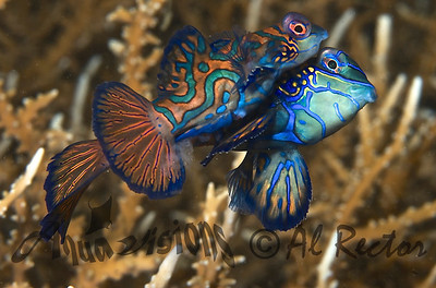 Mating Mandarin Fish Fertilizing Eggs