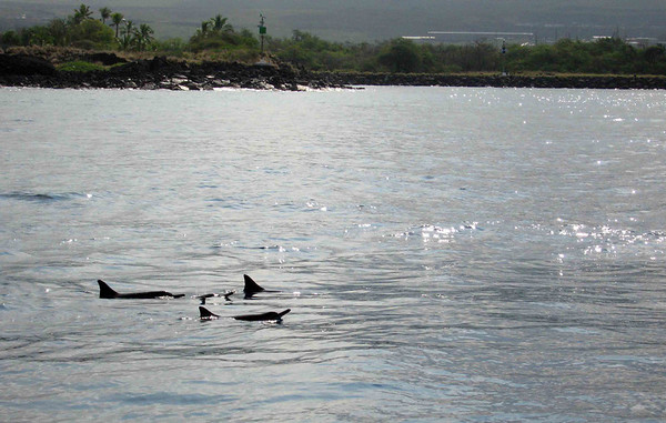 Dolphins approach the boat