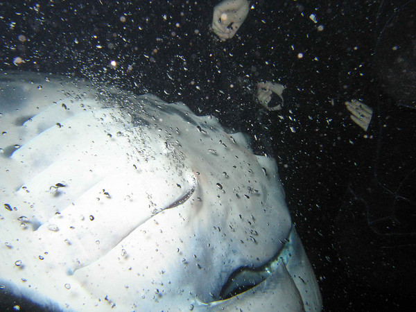 Snorkelers get an up-close and personal visit from a feeding manta. They listened during the briefing and are not touching the mantas - Mahalo!