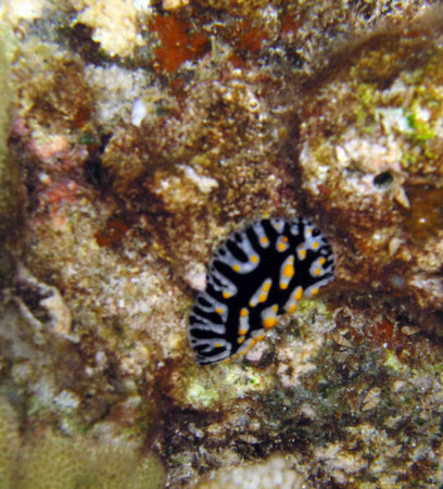 "A ""fried-egg"" nudibranch"