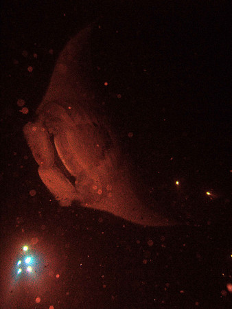 The 'campfire' lights at 35' show just below this manta ray as it glides between the divers and snorkelers