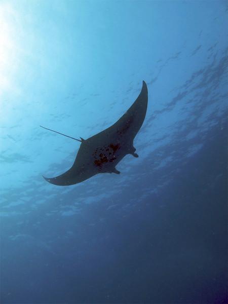 Manta Ray (Manta birostris), Kona Coast, Hawaii