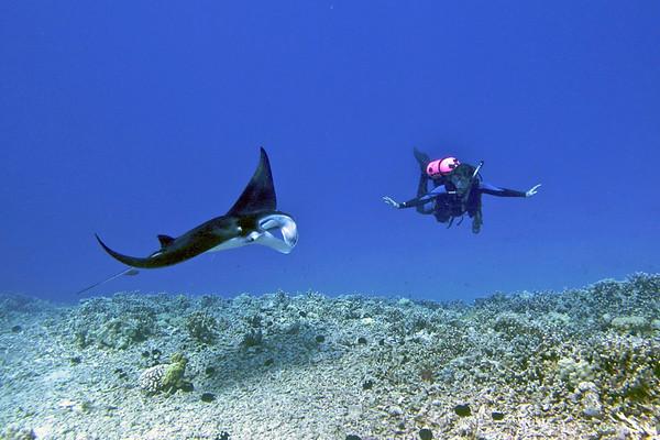 Manta and Eagle Rays, Kona, Hawaii