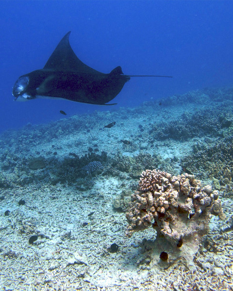 Kapono , Manta Ray (Manta birostris), Kona Coast, Hawaii