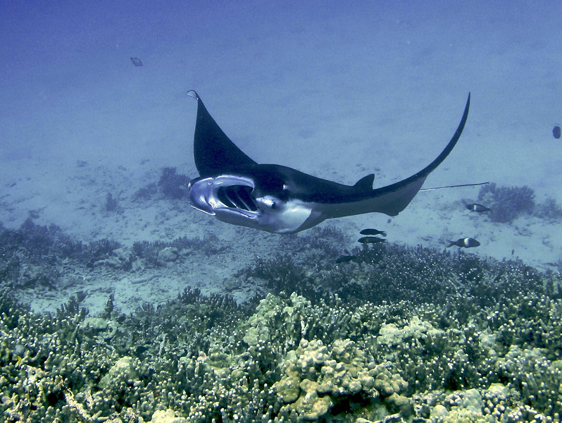 Kailey Ray, Manta Ray (Manta birostris), Kona Coast, Hawaii