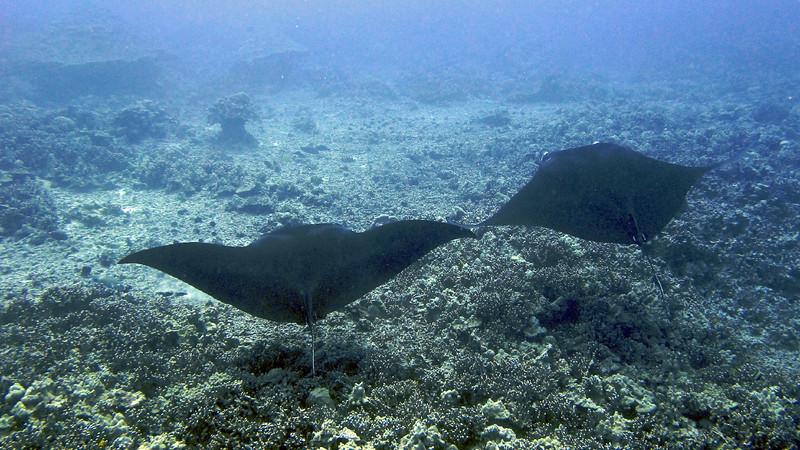 Manta Ray, Keauhou Bay, Kona, Hawaii