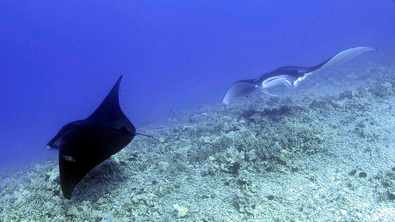 Eli and Lefty, Manta Ray (Manta birostris), Kona Coast, Hawaii