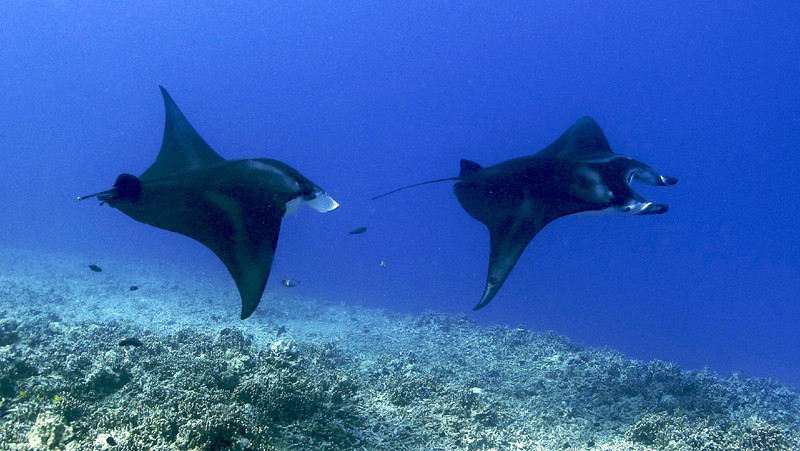 Kirk and Teresa , Manta Ray (Manta birostris), Kona Coast, Hawaii