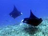 Lefty and Eli, Manta Ray (Manta birostris), Kona Coast, Hawaii