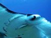 Manta Ray (Manta birostris), Kona Coast, Hawaii